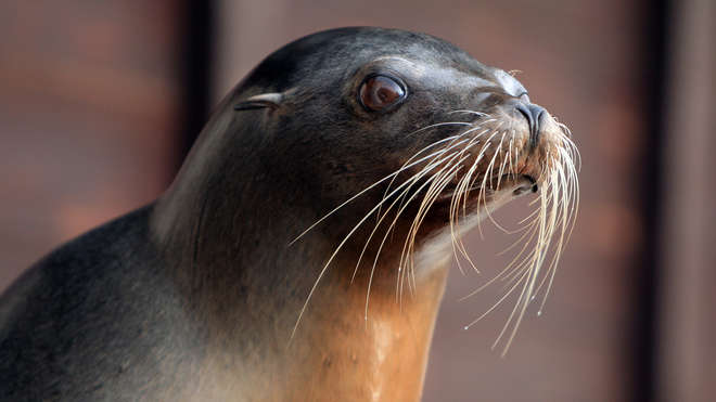 Californian sealion at ZSL Whipsnade Zoo