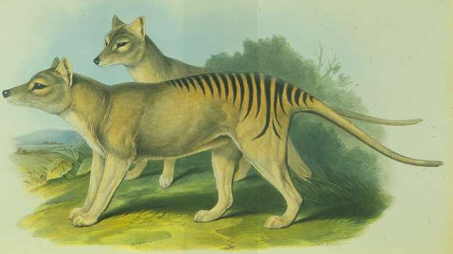 Thylacine or Tasmanian tiger, extinct