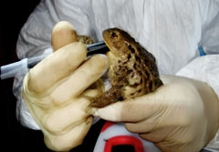 Toad ultrasound