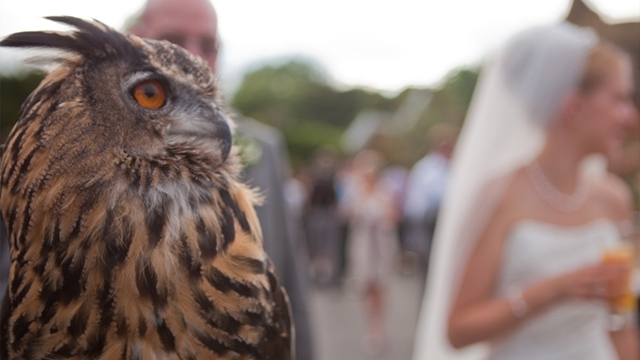 Max the eurasian eagle owl, featuring in a wedding animal encounter.