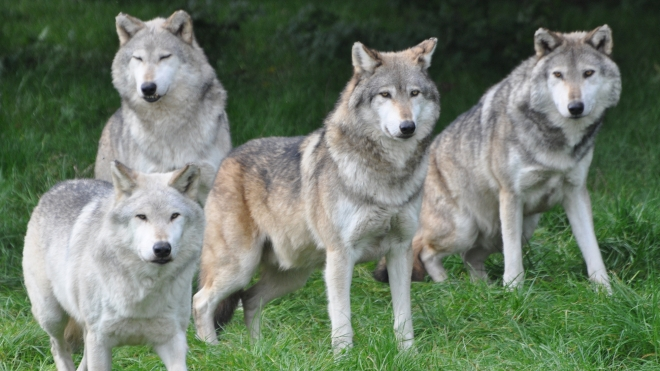 Wolves at ZSL Whipsnade Zoo