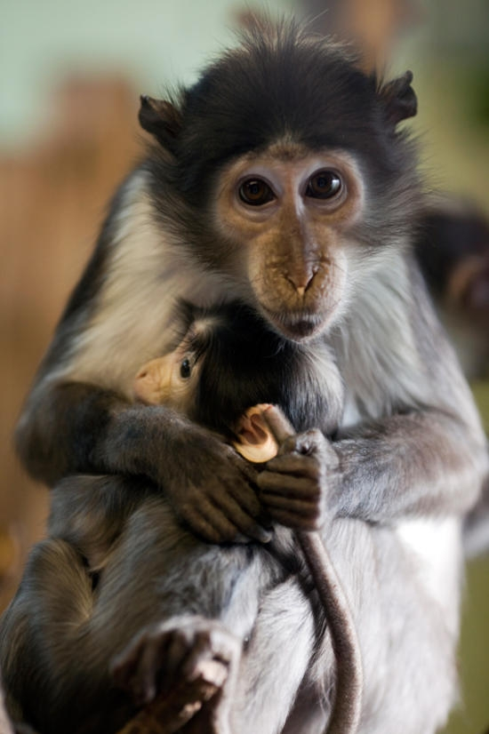 Zsl James Godwin - Mangabey baby