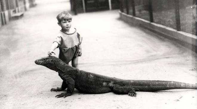One of the dragons captured in 1928. Some incredible stories of Joan Procter walking it along a table in the main offices in front of the zoo directors demonstrating how tame it had become. London Zoo imported 2 and both survived for 12 and 14 years.