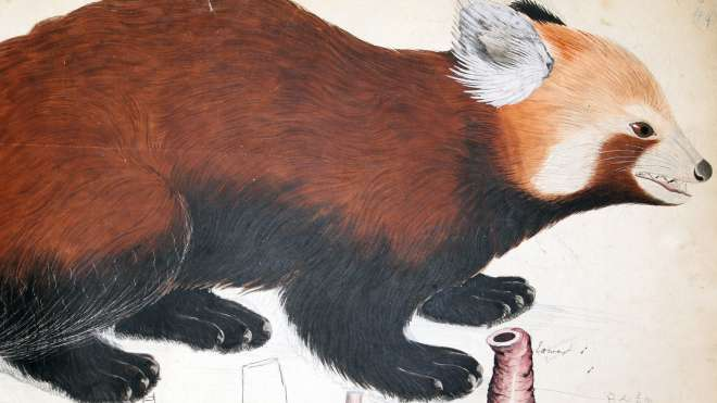 A red panda drawing from Brian Haughton Hodgson manuscripts 'Mammals of India' Vol.1, 1852, probably by Ragman Sing(h).