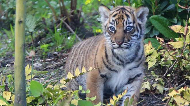 Tiger cub outside in Tiger Territory for the first time.