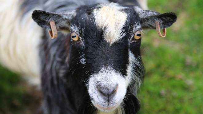 A goat stares into the camera