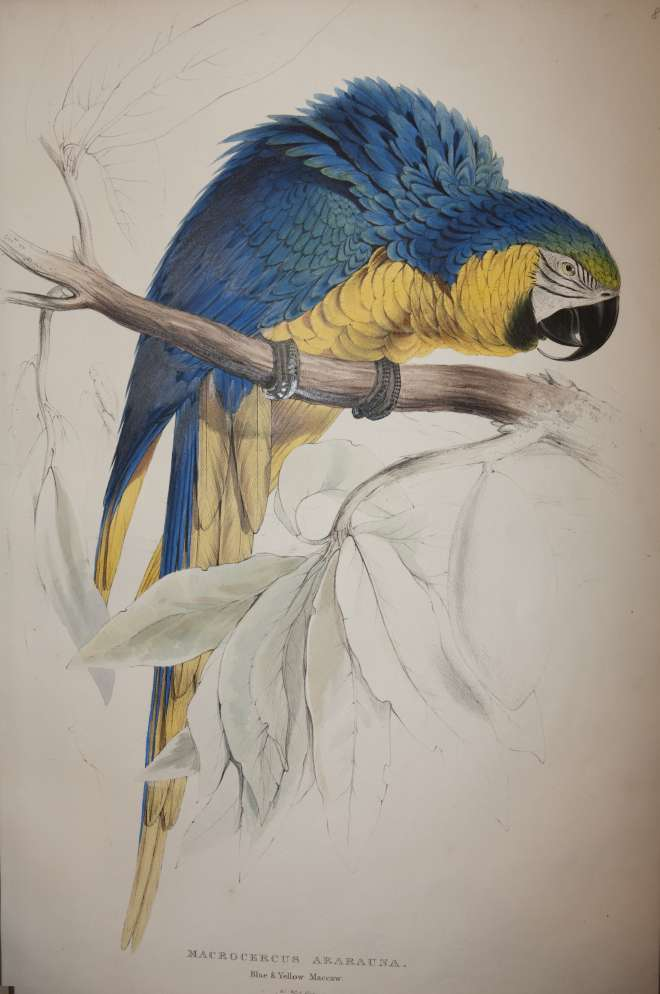 Lithograph by Edward Lear Blue and yellow macaw. Macrocercus ararauna from  Illustrations of the family of Psittacidae, or parrots, the greater part of them species hitherto unfigured published 1832