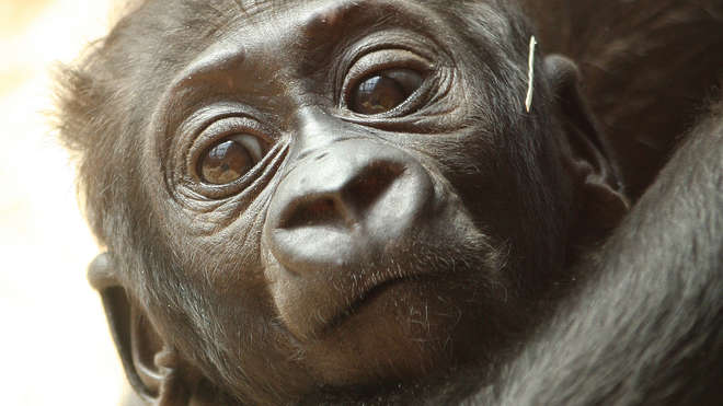 Close-up of a Baby Gorilla