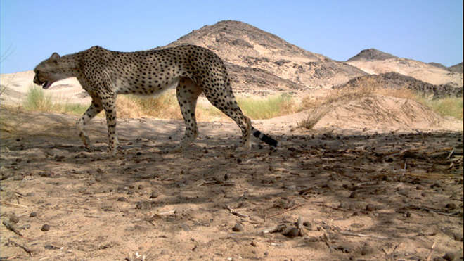 Cheetah Camera Trap Image