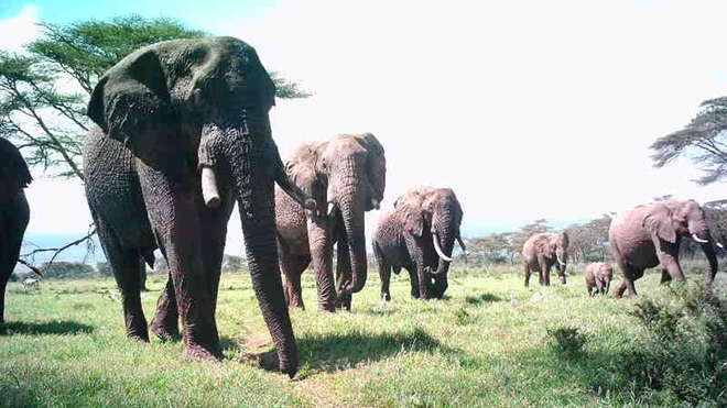 Elephants are caught on an Instant Wild camera