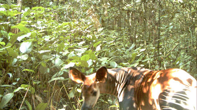Okapi camera trap image