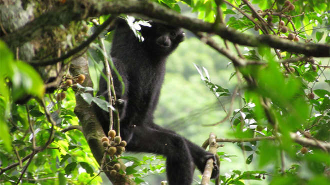Hainan gibbon moving through trees. Image (c) Jessica Bryant
