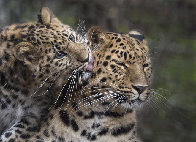 Amur leopard mother with cub. Image (c) Chris Godfrey/Animal Imagery