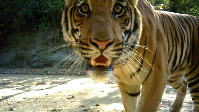 Bengal tiger camera trapped in Nepal