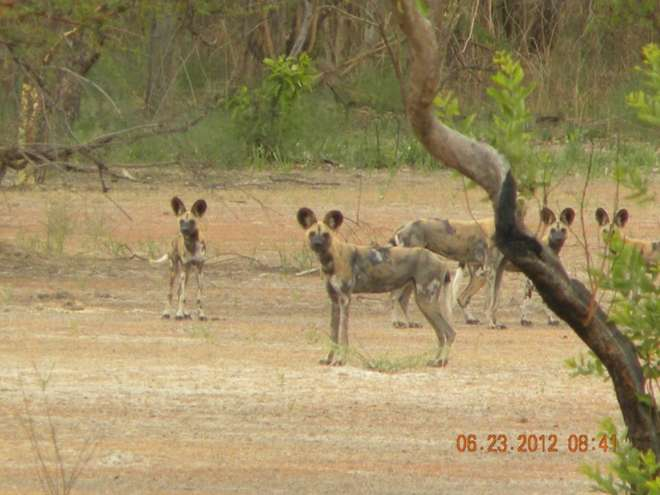 African wild dogs in West Africa.