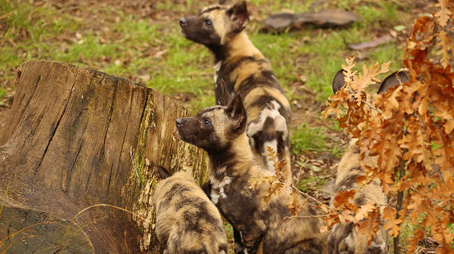 African hunting dog puppies