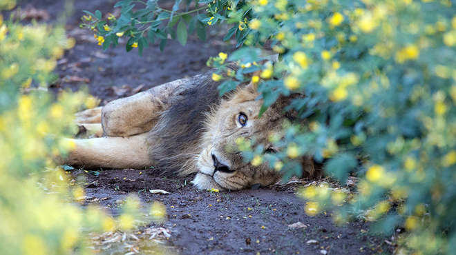 Asiatic lion in chickpea field