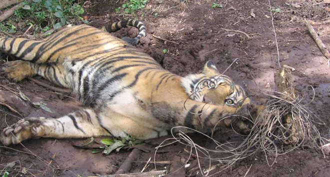 Snared Sumatran tiger