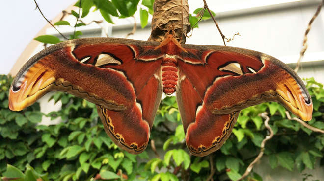 Atlas moth at ZSL Whipsnade Zoo