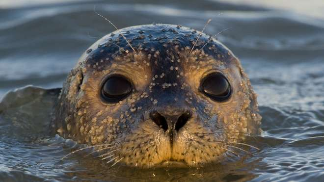 Thames Harbour Seal, credit Russ Miles