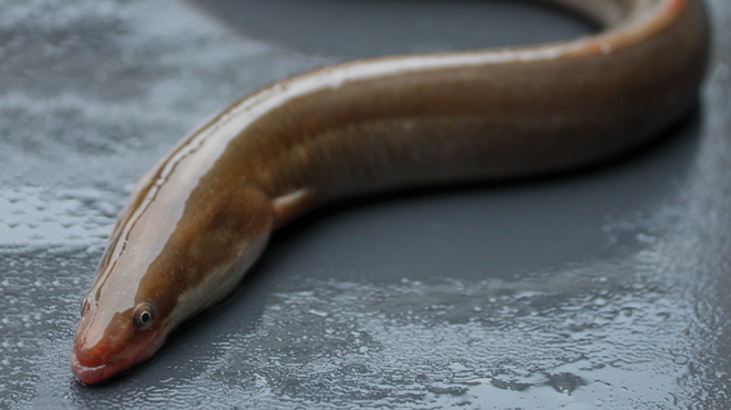 An eel. Picture: David Curnick