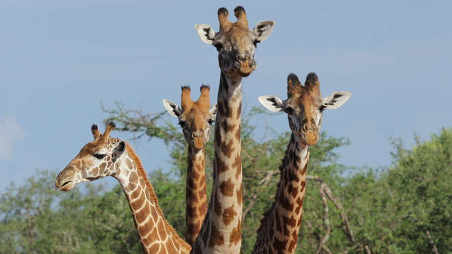 Herd of giraffes in Kenya