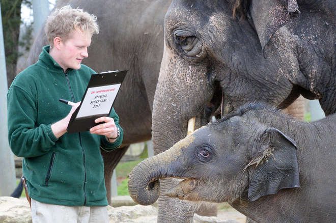 Asian elephant with keepers
