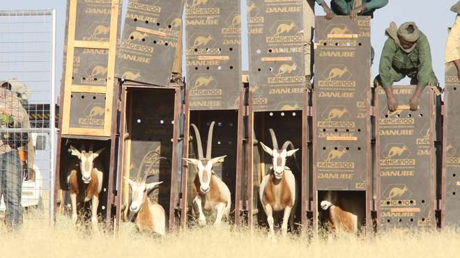 Scimitar-horned oryx are returned to homelands on the edge the Sahara desert