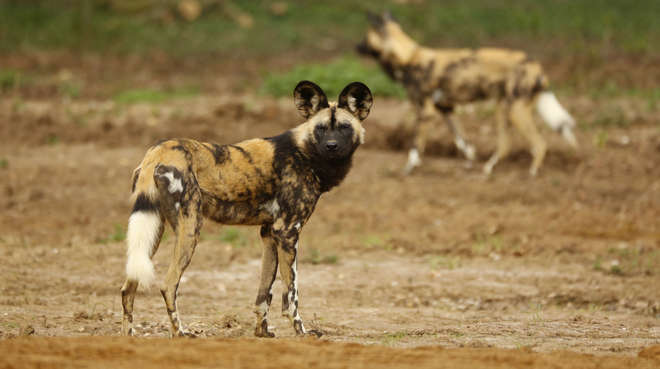 African hunting dog at ZSL Whipsnade Zoo