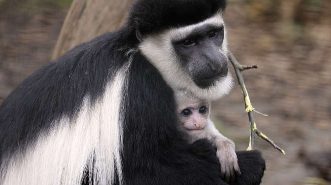 Black and white colobus monkey baby Mandible