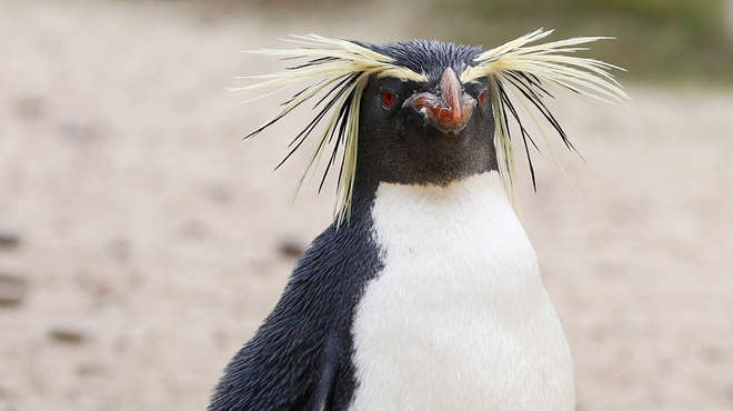 Ricky the rockhopper penguin