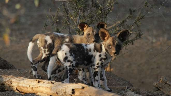 Pair of wild dog pups from the Zimbabwe study site