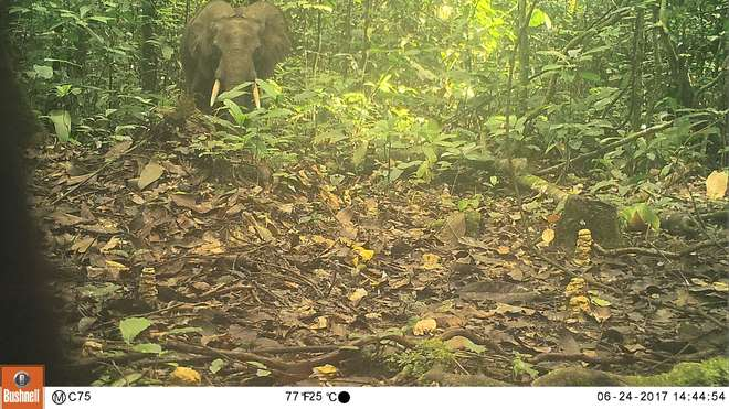 Forest elephant in the Dja Biosphere Reserve, Cameroon