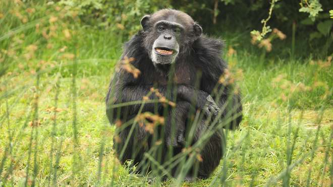 Researchers of chimps often locate animals using the sound of the primate's farts