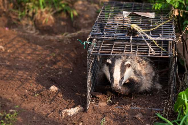 Badger Cull: Time for a Christmas Ceasefire?