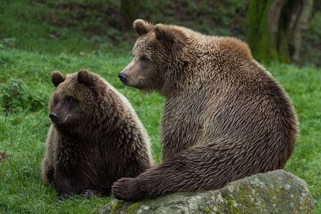 Brown bears at ZSL Whipsnade Zoo