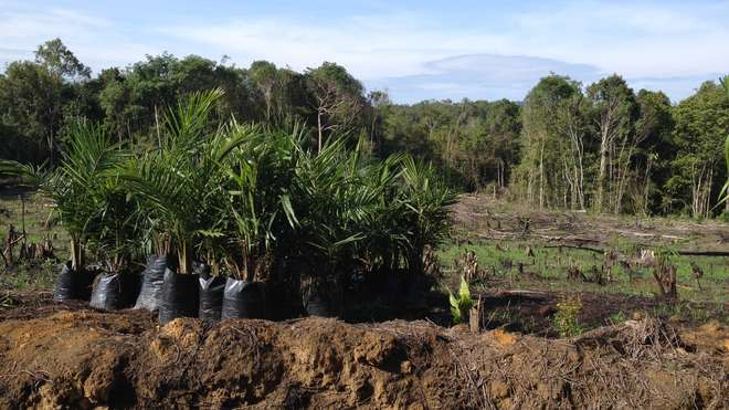 Young oil palms being planted on cleared land in West Kalimantan