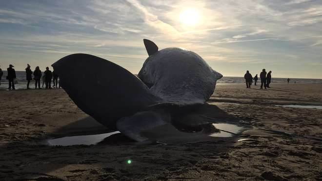 Sperm whale at Skegness