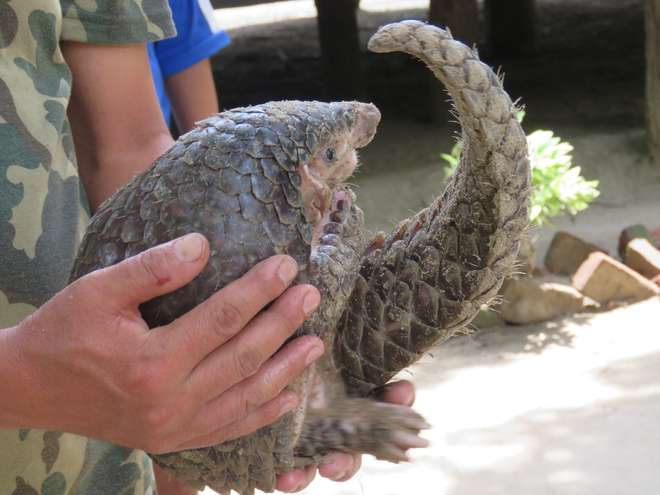 A rescued pangolin in Makwanpur district