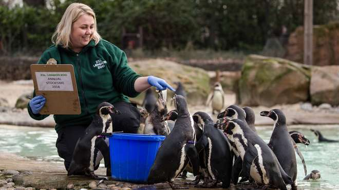 Humboldt penguins are counted in the Annual Stocktake at ZSL London Zoo