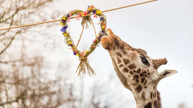 Zookeepers treat female giraffe trio at ZSL London Zoo to an all-girl Valentine's treat
