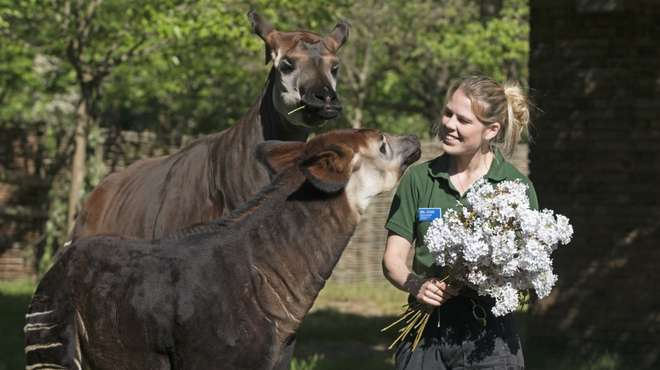 Meghan the okapi is given a floral treat