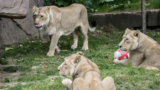 Asiatic lions with an England ball ahead of the World Cup