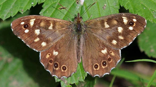 A male speckled wood Butterfly