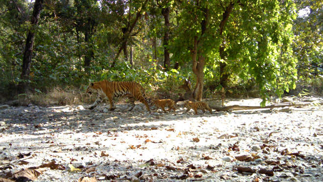 Tiger F-07 with cubs in Parsa Wildlife Reserve