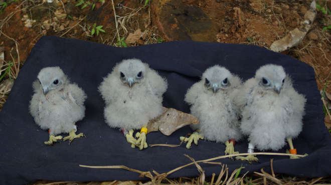 Kestrel chicks on a blue towel