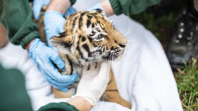 Tiger cub at ZSL Whipsnade Zoo undergoing health checks