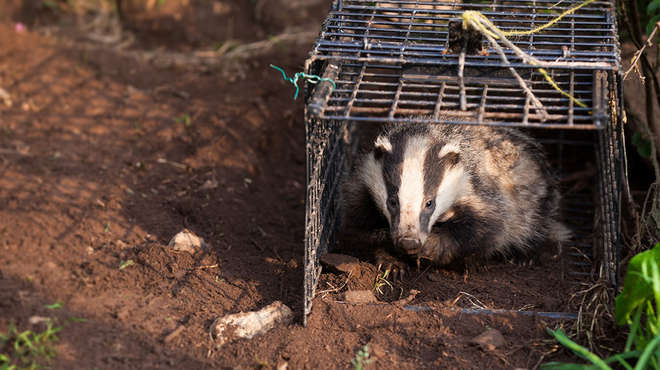 Badger being released by ZSL staff after sampling and vaccination