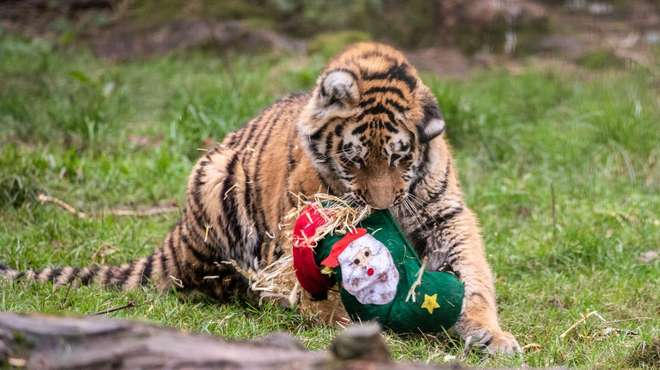 Amur tiger cub with a Christmas stocking