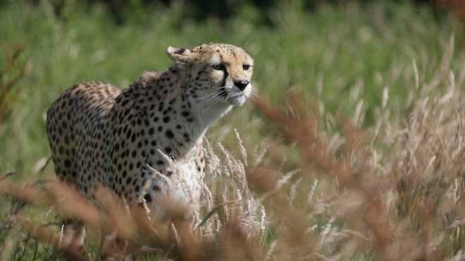 Cheetah fast facts | Zoological Society of London (ZSL)